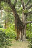 藤本植物结构树 库存图片