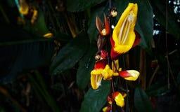 藤本植物mysorensis或迈索尔喇叭藤花 库存图片