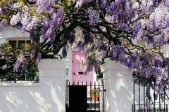 紫藤树 免版税图库摄影
