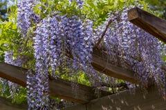 紫藤格子 库存照片