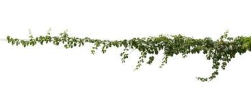 藤植物密林,在白色背景隔绝的上升 裁减路线 库存图片