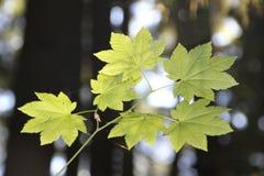 藤槭树叶子 免版税库存图片
