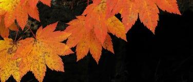 藤槭树-秋天颜色全景 免版税库存图片