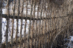 从藤的老篱芭在冬天 库存照片
