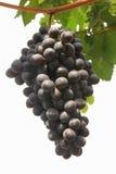 藤的葡萄 库存照片