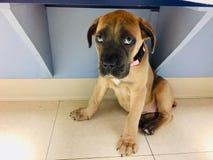 藤茎与哀伤的眼睛的Corso小狗在一条长凳下在狩医的办公室 图库摄影