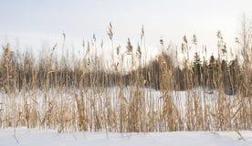 藤茎冬天 库存图片