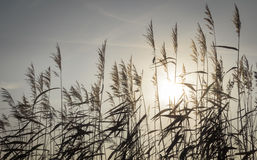藤茎剪影由太阳背景用途点燃了 库存图片