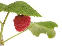 藤茎莓 免版税库存照片