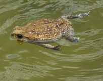 藤茎蟾蜍(Rhinella小游艇船坞) 免版税图库摄影