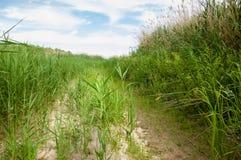 藤茎,芦苇,仓促,茅草屋顶,虚弱 库存图片