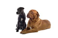 藤茎corso法国大型猛犬小狗 免版税图库摄影