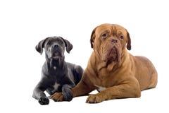 藤茎corso法国大型猛犬小狗 库存照片