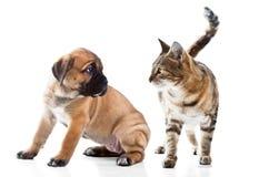 藤茎Corso Italiano小狗和小猫品种孟加拉猫 免版税库存照片