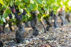 藤葡萄到博若莱红葡萄酒里葡萄园  库存照片
