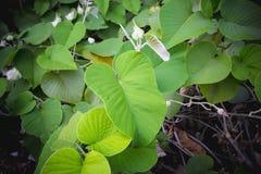 藤绿色叶子 库存照片