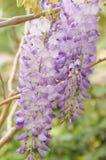 紫藤 库存照片