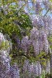 紫藤 免版税库存照片