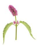 藿香茴香海索草在白色背景隔绝的头状花序 免版税库存图片