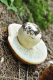 蘑菇下来porcini增长 免版税图库摄影