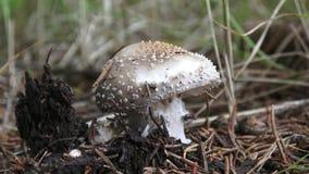 蘑菇与一个灰色帽子和白色小点的伞形毒蕈rubescens在森林里增长 影视素材