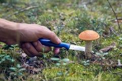 蘑菇与帽子的橙色盖帽牛肝菌蕈类 免版税库存照片