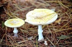 蘑菇二白色 免版税图库摄影
