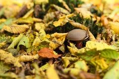 蘑菇从叶子下面出现在秋天森林里 免版税库存图片