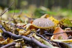 蘑菇从叶子下面出现在秋天森林里 免版税库存照片