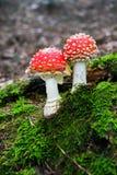 蘑菇伞形毒蕈 免版税库存图片