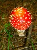 蘑菇伞形毒蕈muscaria 库存图片
