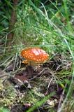 蘑菇伞菌 免版税库存图片