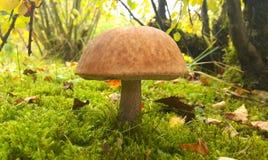蘑菇可食的leccinum 库存照片