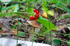 蘑菇和莓果 免版税库存照片