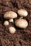 蘑菇土壤 图库摄影