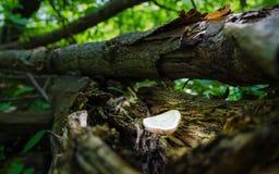 蘑菇在一个残破的分支在树荫下增长 高湿度 免版税图库摄影