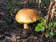 蘑菇在一个深森林里增长在黎明 库存图片