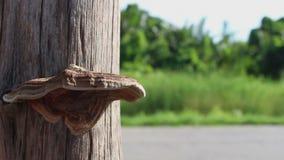 蘑菇在干燥树增长 影视素材