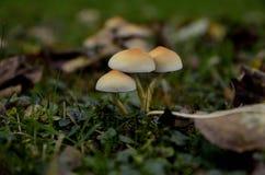 蘑菇在有干燥叶子的森林里 免版税库存图片