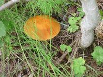 蘑菇在森林里在夏天 免版税库存照片