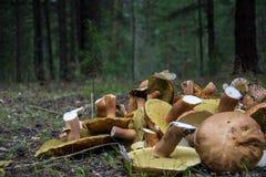 蘑菇在森林里 库存图片