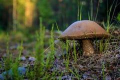 蘑菇在森林里 免版税库存图片