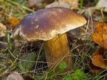 蘑菇在森林, Cepe里 免版税库存照片