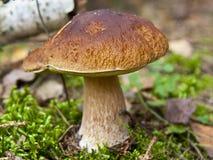 蘑菇在森林, Cepe里 库存图片