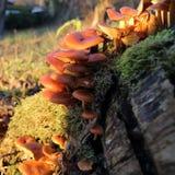 蘑菇在温暖的冬天 库存照片