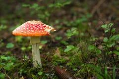 蘑菇在瑞典秋天森林里 图库摄影