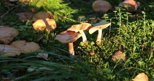 蘑菇在白天期间的森林里 股票视频