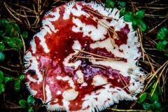 蘑菇在秋天森林里 图库摄影