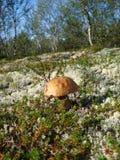 蘑菇在秋天森林里 免版税库存照片