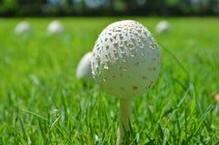 蘑菇在草坪 库存图片